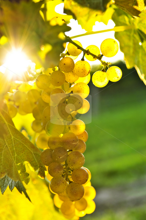 Yellow grapes stock photo, Yellow grapes growing on vine in bright sunshine by Elena Elisseeva