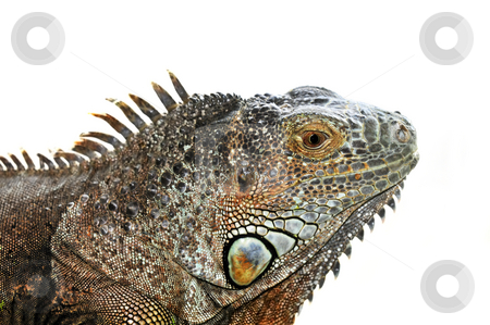 Green Iguana stock photo, Close up of green iguana head on white background by Elena Elisseeva