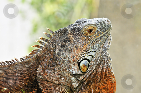 Green Iguana stock photo, Close up profile of green iguana head by Elena Elisseeva