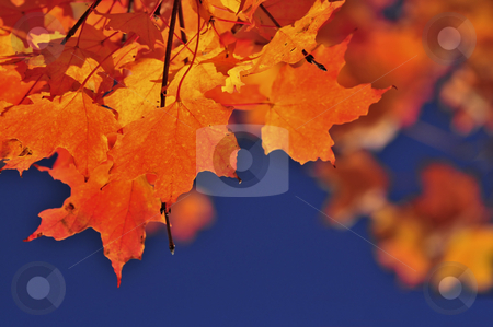 Fall maple leaves stock photo, Red fall maple tree leaves on blue sky background by Elena Elisseeva