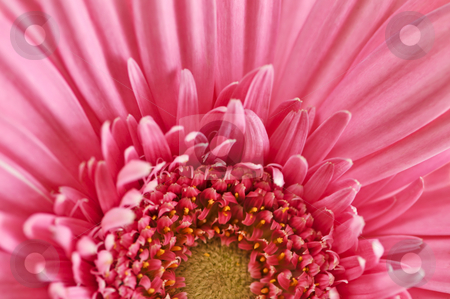 Gerbera flower stock photo, Closeup of brightly colored pink gerbera flower petals by Elena Elisseeva