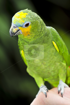 Yellow-shouldered Amazon parrot stock photo, Yellow shouldered Amazon parrot perched on hand by Elena Elisseeva
