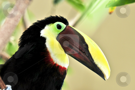 Chestnut Mandibled Toucan stock photo, Chestnut mandibled toucan yellow and black bird profile by Elena Elisseeva