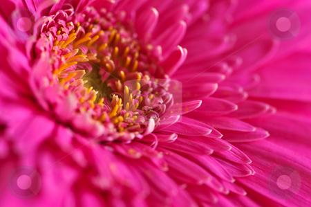 Gerbera flower stock photo, Closeup of brightly colored pink gerbera flower petals by Elena Elisseeva