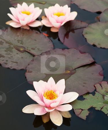 Lilly pond flower stock photo, Three beautiful lilly flowers with leaves on a pond by Laurent Dambies