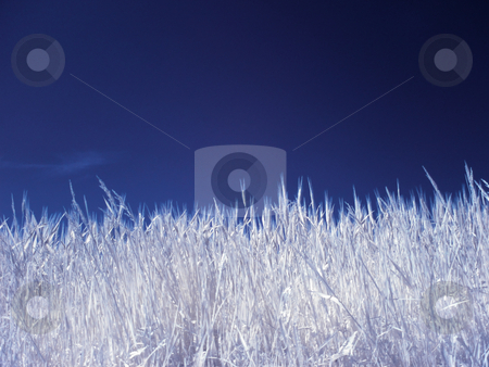 Wheat field stock photo, Wheat field under blue sky in infrared by Laurent Dambies