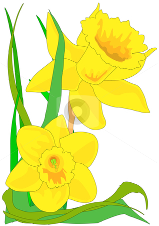 Daffodils stock vector clipart, Vector illustration of two narcissus daffodils with green leaves. by Robert Gebbie