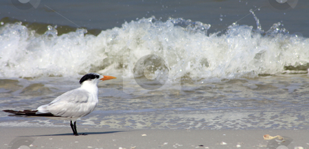 Bird stock photo, Photographs of a typical bird of the beaches in Florida. by Carlos Melillo
