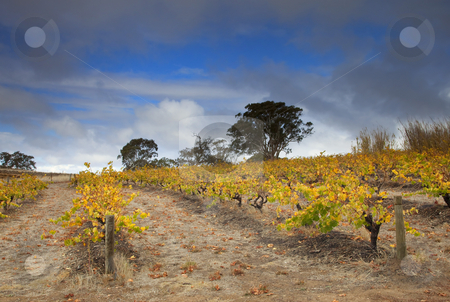 Golden Vines stock photo, Golden Grape Vines atop a hill in the Barossa Valley  of South Australia by Mike Dawson
