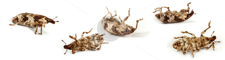 Weevil stock photo, The small insect brings the big harm to an agriculture. by Sergey Goruppa