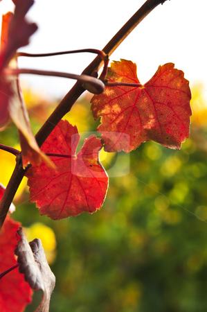 Closeup of vine leaves stock photo, Close up of leaves on grape vine plant by Elena Elisseeva