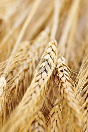 Wheat ears stock photo, Golden brown ripe wheat ears close up by Elena Elisseeva