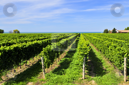 Vineyard stock photo, Rows of young grape vines growing in Niagara peninsula vineyard by Elena Elisseeva