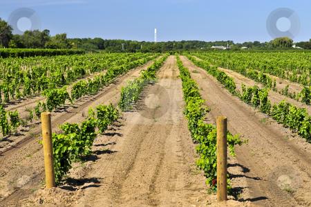 Vineyard stock photo, Rows of young grape vines growing in Niagara peninsula vineyard by Elena Elisseeva