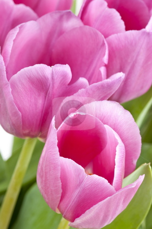 Pink tulips stock photo, Pink tulips with green leaves on white background by Elena Elisseeva