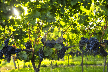 Purple grapes stock photo, Purple grapes growing on vine in bright sunshine by Elena Elisseeva