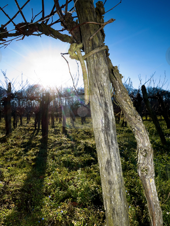 Bare grapevines stock photo, Bare grapevines  in winter against the sun by Laurent Dambies