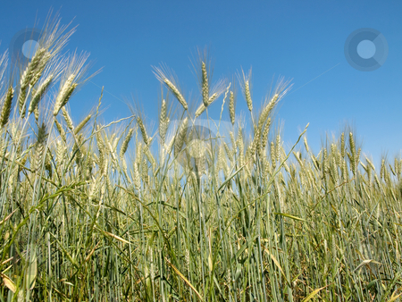 Wheat field stock photo, Wheat field under blue sky by Laurent Dambies