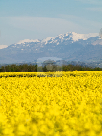 Rape field and mountains stock photo, Scenic  landscape of a rapeseed filed with French Pyrenees mountains in the background by Laurent Dambies