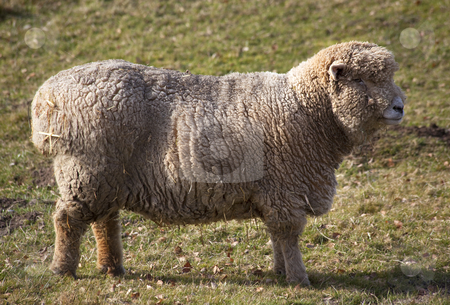 Sheep Standing up stock photo, Wooly Sheep standing up by William Perry