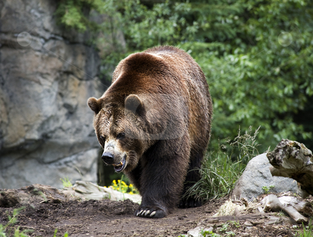 Kodiak Brown Bear Walking on Trail stock photo, Kodiak Brown Bear Walking on Trail Ursus Arctos by William Perry