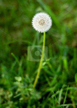 Dandelion stock photo, Dandelion close-up on green grass background by Vladyslav Danilin
