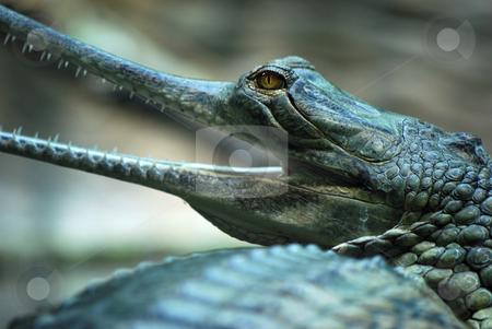 Indian gavials stock photo,  by Sarka