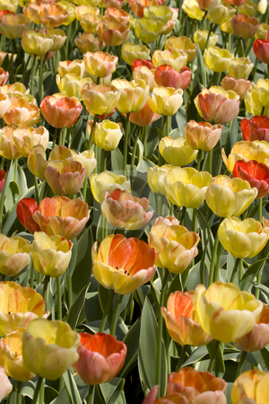 Colorful Dutch Tulips stock photo, Colorful Dutch Tulips, mainly yellow and orange by Inge Schepers