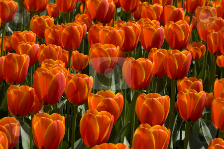 Colorful Dutch Tulips stock photo, Colorful Dutch Tulips, red and orange by Inge Schepers