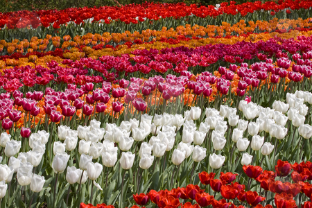 Colorful Dutch Tulips stock photo, Colorful Dutch Tulips, many different colors in a tulip field by Inge Schepers