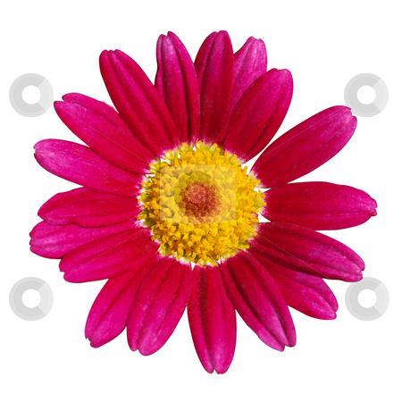 Federation Daisy Carmine Supanova stock photo, Federation Daisy Carmine Supanova isolated with clipping path. by Margo Harrison