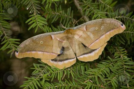 Cecropia Moth Macro stock photo, Cecropia Moth Macro Close Up by William Perry