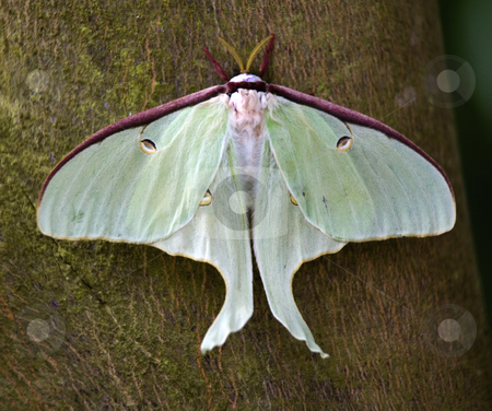 Luna Moth Close Up stock photo, Luna Moth Close Up Macro by William Perry
