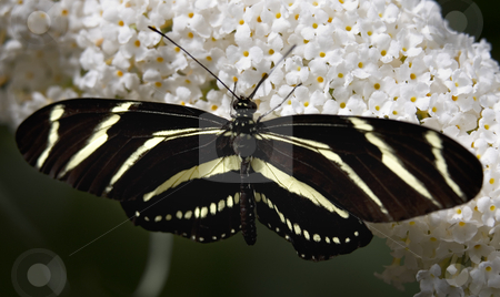 Zebra Longwing butterfly on white flower stock photo, Zebra Long Wing Butterfly on White Flower, Close Up, Macro, Black and White by William Perry