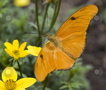 Bright Orange Julia Butterfly On Yellow Flower stock photo, Bright Orange Julia Butterfly, Dryas Julia, on Yellow Flower Having Lunch by William Perry