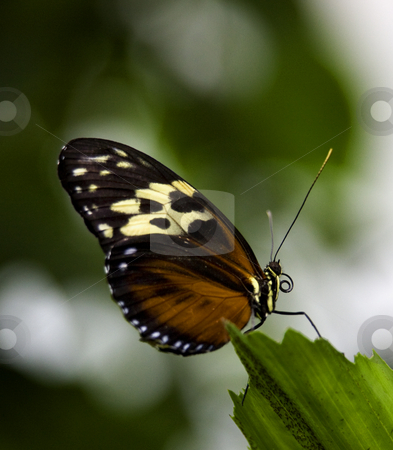Golden Helicon Butterfly on Green Leaf Macro stock photo, Golden Helicon Butterfly, Heliconius Hecale, sitting on green leaf with wings folded Macro by William Perry