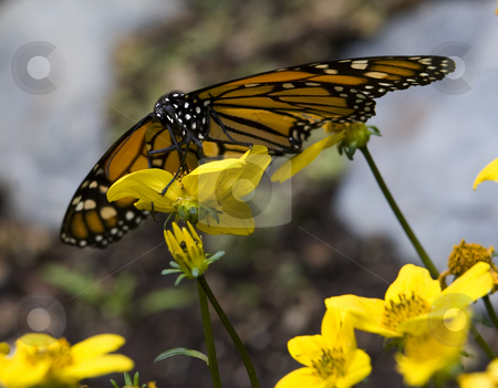 Monarch Butterfly Feasting on Yellow Flower stock photo, Monarch Butterfly, Danus plexippus, Sipping Nectar from Yellow Flower Macro by William Perry