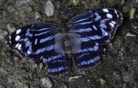 Royal Blue Butterfly stock photo, Royal Blue Butterfly, Myscelia Ethusa, Intense Vibrant Colors by William Perry