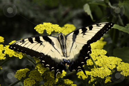 Black and White Zebra Swallowtail Butterfly on Yellow Flowers stock photo, Black and White Zebra Swallowtail Butterfly, Eurytides Marcellus, on Yellow flowers Macro Close Up by William Perry