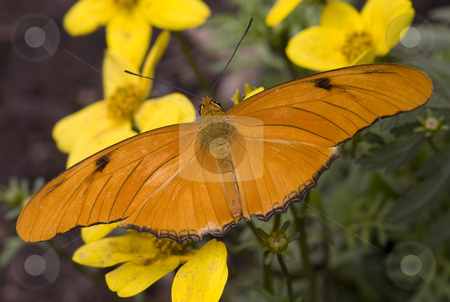Bright Orange Julia Moth on Yellow Flowers stock photo, Bright Orange Julia Moth Dryas Julia on Yellow Flowers by William Perry