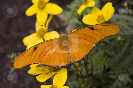Bright Orange Julia Butterfly on Yellow Flowers stock photo, Bright Orange Julia Butterfly, Dryas Julia, on Yellow Flower Having Lunch by William Perry