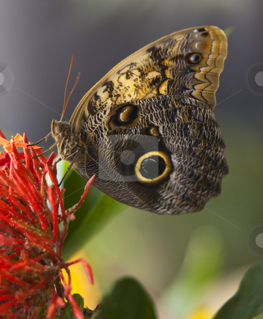 Owl Butterfly stock photo, Owl Butterfly, Brassolidae, on bright red flower with wings folded by William Perry