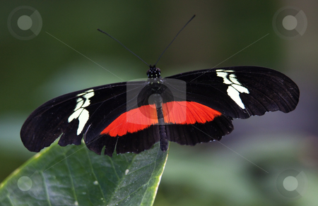 Red White Longwing Butterfly Close Up stock photo, Red White Longwing Butterfly, Heliconius Melpomene, on green leaf with wings outretched by William Perry