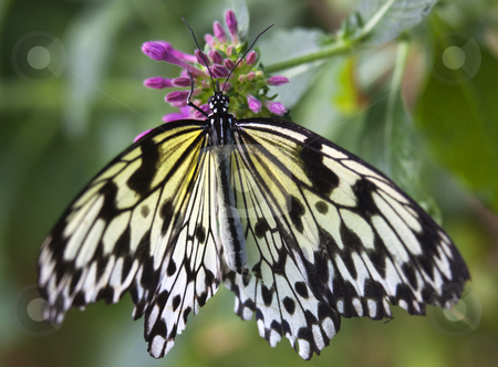 Black and White Rice Paper or Paper Kite Butterfly, Idea Leucono stock photo, Black and White Rice Paper or Paper Kite Butterfly, Idea Leuconoe, on Pink Flowers with Wings Outstretched by William Perry