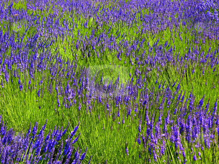 Lavendar Abstract stock photo, Picture of Lavendar Fields Abstracted to look like impressionistic painting by William Perry