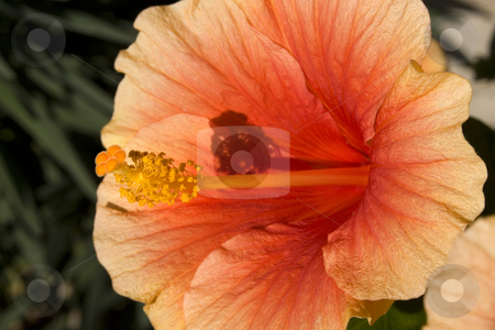 Orange Hibiscus Close Up stock photo, Orange Yellow Hibiscus Close Up Macro by William Perry