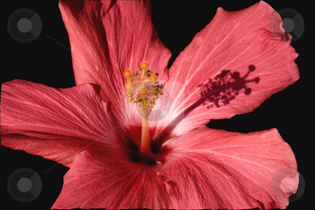 Pink Hibiscus Close Up Macro stock photo, Pink Hibiscus Close Up Macro with shadow by William Perry