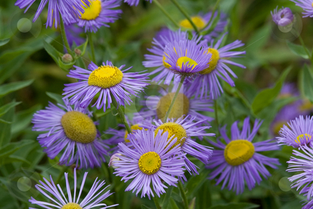 Purple Daisies Popping Out of Screen stock photo, Purple Daisies Popping out of screen, close Up, Macro by William Perry