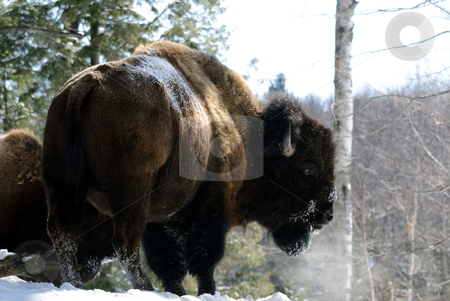 Bison stock photo, Wild Bison in Winter by Alain Turgeon