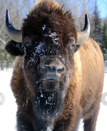Bison stock photo, Close-up portrait of a bison by Alain Turgeon